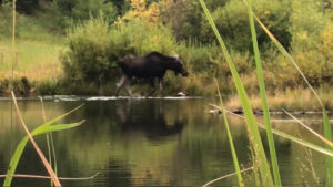 Moose in a colorado lake